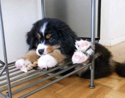 aplacetolovedogs:  cuteoverload Look at my cute little pink feet while I chew on my rawhide Original Article