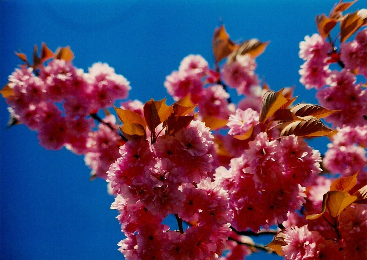 Blossoms By Ben Scothern Taken on Olympus OM-2 with Fujifilm Superia X-tra 400