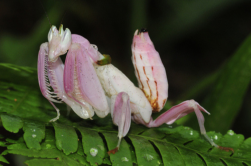 Malaysian orchid praying mantis