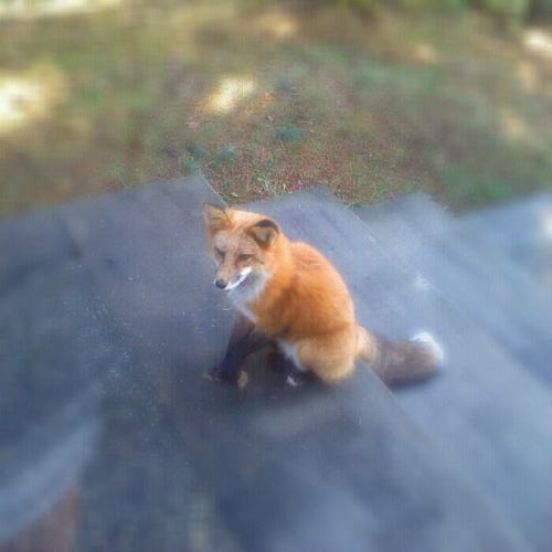 Look who decided to have my morning coffee with me… #fox