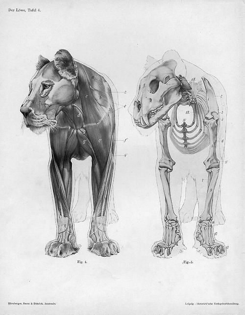 lionskeleton:  Lion anatomy anterior view