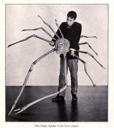 The Giant Spider Crab of Japan [Macrocheira kaempferi] This is a big ol' crab. Bigger than any other arthropod. Some can be 3.8m (12 ft) from claw to claw. They're really, really big. That is all. Scenes From Every Land. National Geographic Society. Edited by Gilbert H. Grosvenor, 1907.