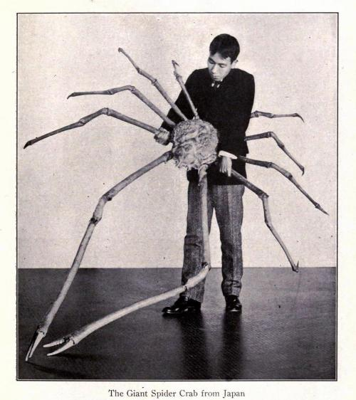 biomedicalephemera:  The Giant Spider Crab of Japan [Macrocheira kaempferi] This is a big ol' crab. Bigger than any other arthropod. Some can be 3.8m (12 ft) from claw to claw. They're really, really big. That is all. Scenes From Every Land. National Geographic Society. Edited by Gilbert H. Grosvenor, 1907.