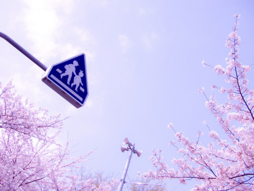 fuckyeahjapanandkorea:  Sakura 2011 by mayor_of_clutch0625