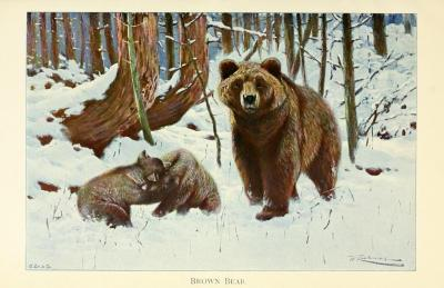 Brown Bear (Ursus arctos) You wouldn't want to be anywhere near this bear. Females with cubs are not only aggressive when you get near their babies, but are territorial in general - many are more aggressive than even adult males. Wild life of the world: a descriptive survey of the geographic distribution of animals. Richard Lydekker, 1915.