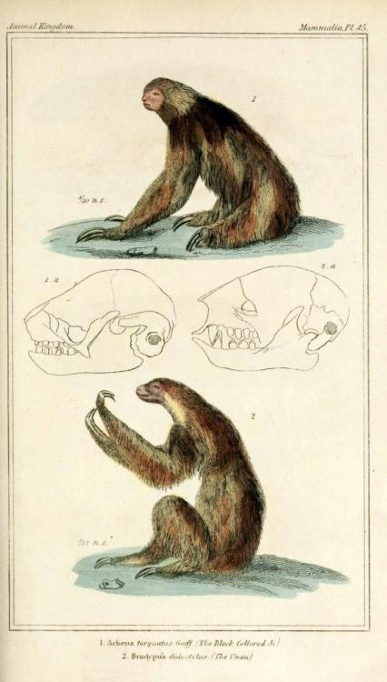 "biomedicalephemera:  ""The Black-Collared Ai"": Three toed sloth ""The Unau"": Two-toed Sloth The Animal Kingdom, Arranged According to its Organization. Baron Cuvier, 1834."