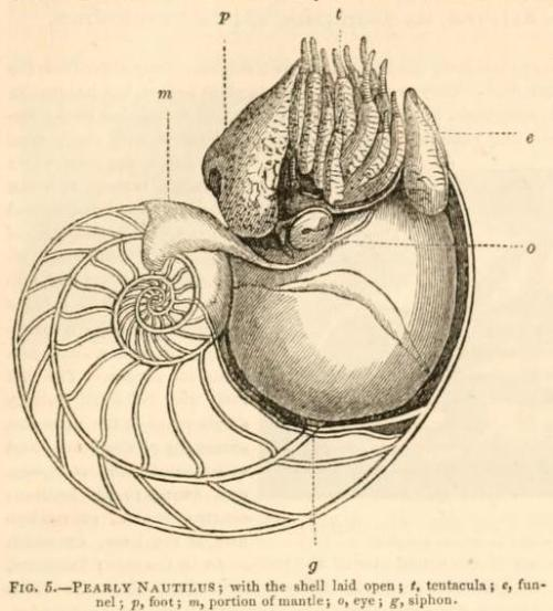 "biomedicalephemera:  Pearly Nautilus with the Shell Laid Open Those chambers in the shell are the old ""homes"" of the nautilus. As the nautilus grows bigger, it expands its shell outward, and forms a septum behind itself as it moves forward. The Animal Kingdom Arranged According to its Organization. Baron Cuvier, 1831."