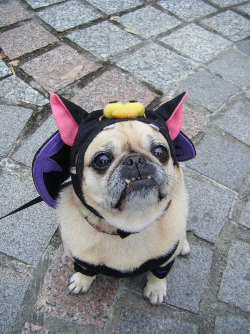 boodapug:  mugsofpugs:  Bugsy as a Vampire submitted by Scott Harney  Aww! Cute. The teeth just work with the costume!