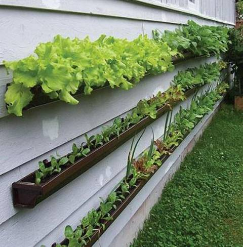 Urban agriculture, lettuce grown in gutters attached to the side of a house.Who says you need heaps of land to grow your own food?  Perfect example of what is possible if people have the inclination, the ambition and the taste for fresh veg. These will stay (mostly) watered on their own, get ample sunlight and keep producing veg right through the year until the first frosts of winter. We've been trying to find these in London and wondered anyone has seen any?
