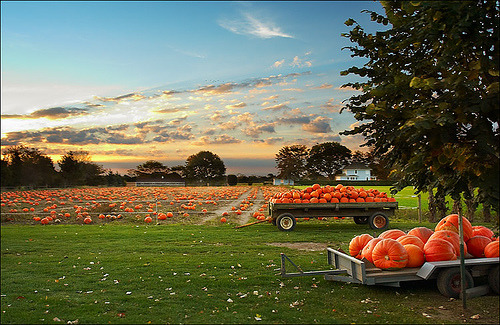 photoholic:  Pumpkin field in Wainscott, NY (by wvs)