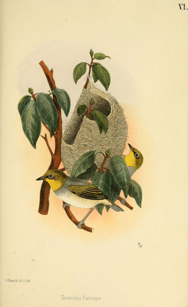 dendroica:  n346_w1150 by BioDivLibrary on Flickr.Via Flickr: Beitrag zur fauna Centralpolynesiens. Ornithologie der Viti-, Samoa- und Tonga-inseln Halle,H. W. Schmidt,1867.biodiversitylibrary.org/item/50141