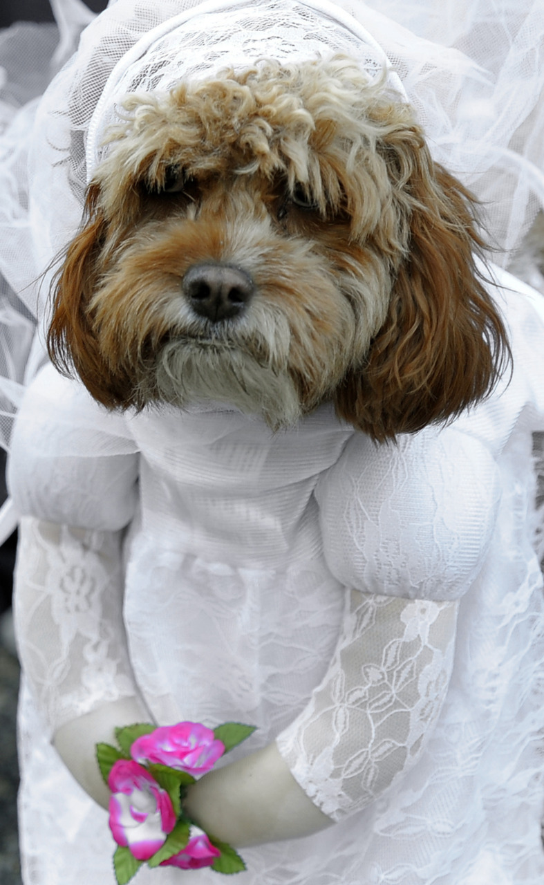 Photos of the Day, Oct. 31, 2011 A dejected dog reluctantly wears a wedding dress at the Doggie Costume Halloween Party in New York, Oct. 30, 2011. (Timothy A. Clary/AFP/Getty Images)