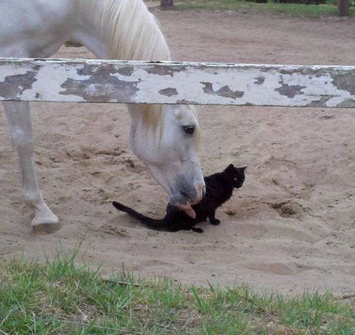 dogsandcatslivingtogether:  This horse is licking a cat via caturday