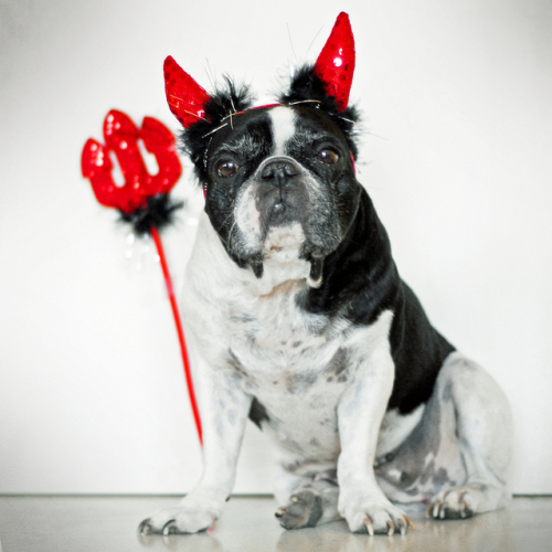 dailyfrenchie:  Devil Dog Happy Halloween and all that jazz.