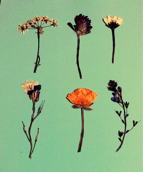 chloegibbins:  My pressed flowers.