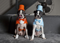 fuckyeahbostonterriers:  Dumb & Dumber. Homemade costumes for Winston and Gavin. Halloween 2011.