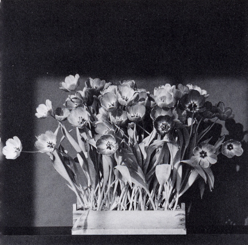 Tulips, 1983 by Robert Mapplethorpe