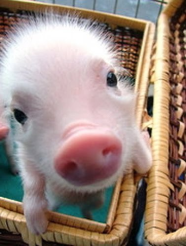 Good morning!  I'm a piggie!