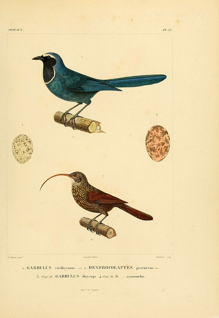 n158_w1150 by BioDivLibrary on Flickr.  Via Flickr: Voyage dans l'Amérique Méridionale. v.9. Paris : Pitois-Levrault, 1835-47.biodiversitylibrary.org/item/50740