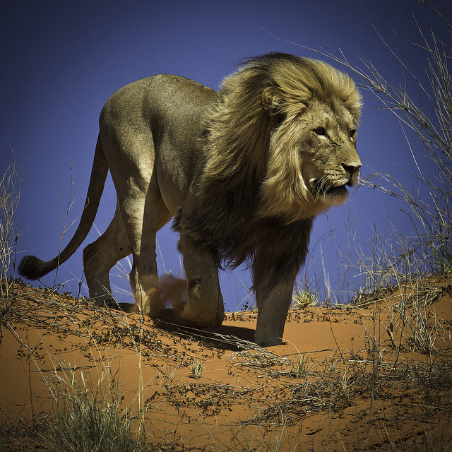 King of the Kalahari Desert By Ania Photography ✿