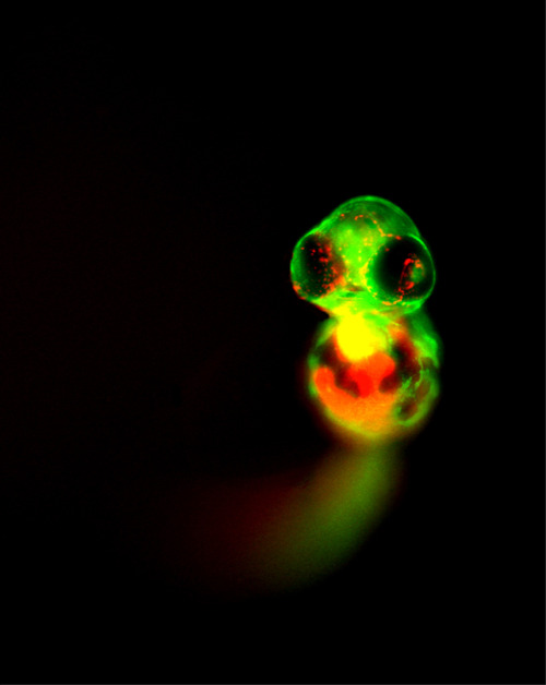 canis-venaticii:  zebrafish embryos