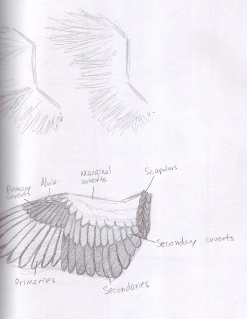 Here are some sketches for my project 3. I did a quick study of wings (because practically all my characters will have them), and a quick sketch of the basic storyline. Nothing set in stone yet, but here it is so far. :) So, my project 3 is probably going to be like an opening intro / history for a tv series where there are two nations at war - the angels and the falled (dark) angels. It's going to all be illustration (on Photoshop), so I have a lot of work ahead of myself.. Fighting!