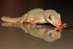 rhamphotheca:  Indo-Pacific Gecko (Hemidactylus garnotii) will get back to you when he's done licking things… its gonna be awhile.