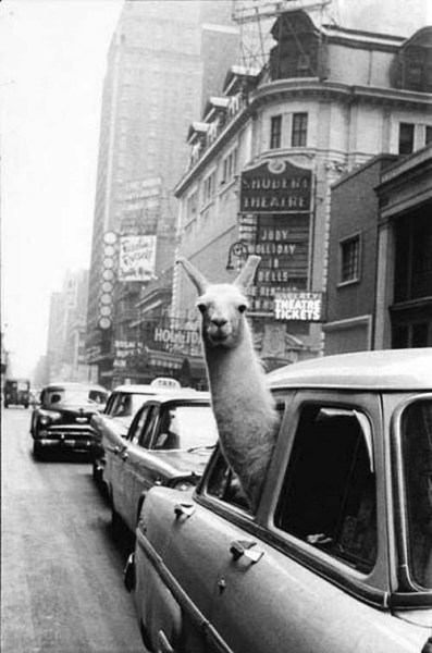 e-pic:  a llama in Times Square, 1957 taken by Inge Morath