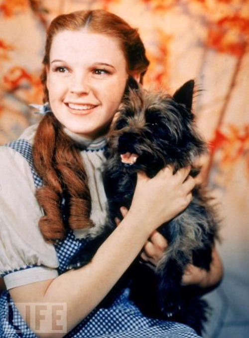 life:  On November 3, 1956, Wizard of Oz debuted on TV and became an instant hit. Fun Fact: Before it was the go-to '80s band on karaoke night, Toto was the name of Dorothy Gale's black Cairn Terrier, best remembered in the 1939 film The Wizard of Oz as Judy Garland's bosom pal. The movie Toto's real name was Terry, and she was paid $125 a week. (The Munchkins were paid $50.)  (see more — Famous Animals Through the Years)  ARB I think Lexi would be just fine with that salary schedule.