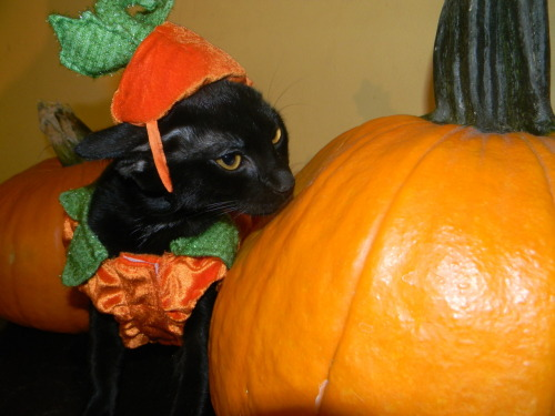 stop that cat. cats cannot eat pumpkin. furthermore you are dressed as a pumpkin eating a pumpkin. that makes you a cannibal, cat. and that's against the law.