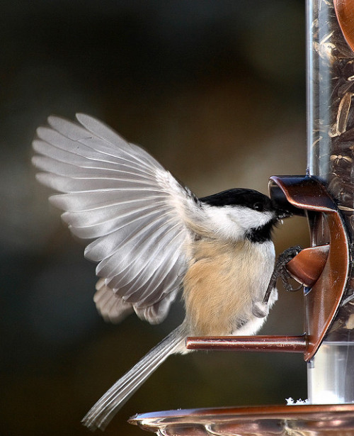 fat-birds: Black Cap Chickadee by Holy Smokes on Flickr.