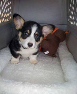 imgur Corgi puppy, Butler, coming home for the first time Original Article