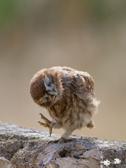 "despicablealexis:  ""little owl"" by EMMEBIPHOTO"
