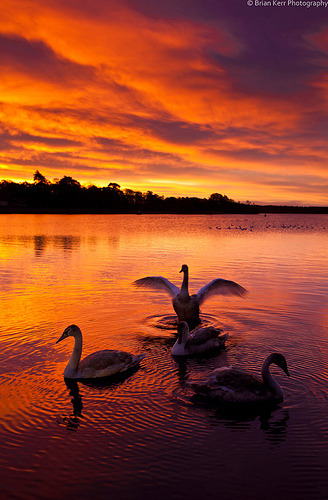 Swan Lake Swans at sunset in a Scottish loch (by ~Brian Kerr Photography-)
