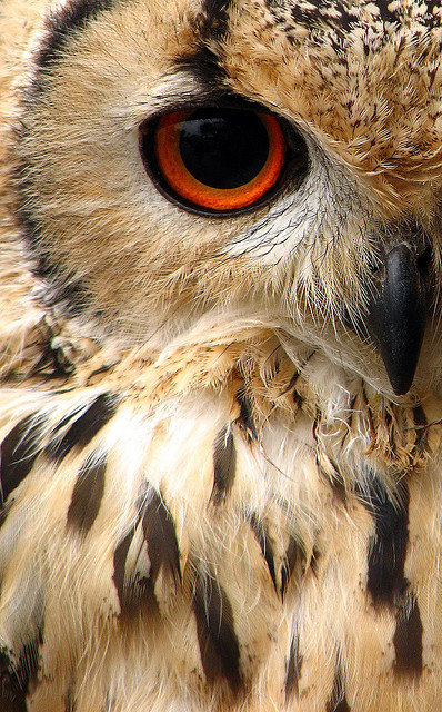 I'm watching you (This is an Indian eagle owl) (via woolybackviks | Flickr - Photo Sharing!)