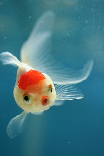 A rather surprised fancy goldfish (by rin-ka)