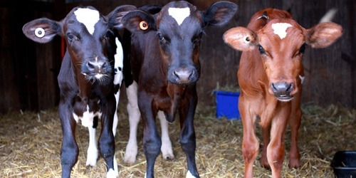 The story of three very lucky calves  Each week in Victoria there are sales conducted where the baby calves that are surplus to the needs of the dairy industry are taken and sold. Many go directly to abattoirs while others are sold to be 'grown out' (read fattened up) and then killed. Maid Marion was the first to catch my eye, so much smaller than any calf at the sale that day and penned on her own, her defencelessness drew me to her. But it was when I looked directly into her eye that I heard her plea for mercy. Little John was the last calf offered for sale on the day. He was clearly sick and weak. Several attempts were made to make the poor fellow stand before he staggered bewildered around the yard only to collapse down again. Male calves are of little value and it appeared sick ones even more so … but we thought he was priceless. Buying animals from livestock markets is not something I particularly advocate unless it is going to do something beyond keeping the status quo of the industry. The purchase of these three tiny calves certainly achieved this. Instead of being dead within the next 24 hours, they secured national TV coverage by way of the 7PM Project and in doing so gave a voice to millions of other not so lucky calves. The outpouring of emotion from the public as a result of that story has been truly overwhelming.