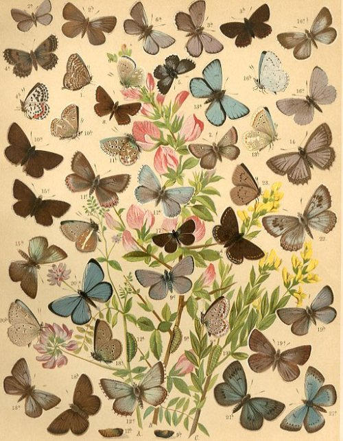 The Butterflies and Moths of Europe,1903,
