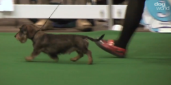 My dog Bilbie (and my leg)A screen grab from Dog World TV's video of the Hound Group at Midland Counties Championship Dog Show, filmed last Saturday.Bilbie won Best of Breed, I was very proud of him :)