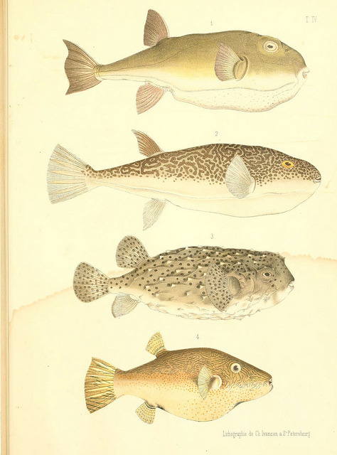 n80_w1150 by BioDivLibrary on Flickr. Atlas des poissons vénéneuxS.-Peterburg,Tipografïia V.S. Balasheva,1886.biodiversitylibrary.org/item/51202
