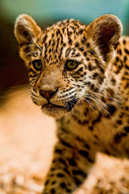 * The Jaguar cub