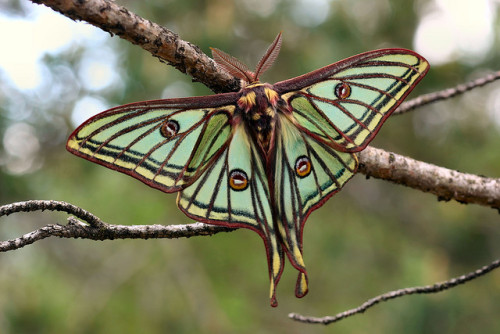 yellowcrayon:   Lepidoptera — Graellsia isabellae — Spanish Moon Moth on Flickr