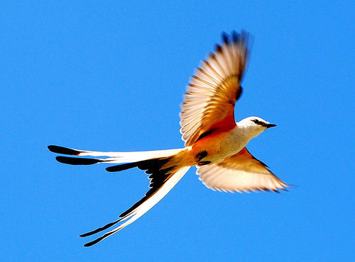 prettybirds:  Scissot-Tailed Flycatcher