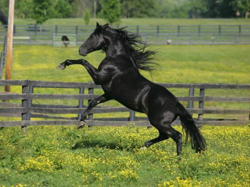 The Quintessential Black Stallion