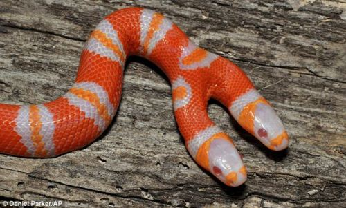 "creamsicle deformutilation:  A ""bicephalic"" (or two-headed) albino Honduran milk snake."