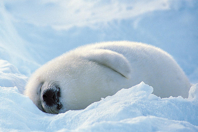 the-iridescence:  Arctic Harp Seal Head to the Arctic on a polar voyage and encounter a plethora of wildlife from the Harp seal to the mighty polar bear.