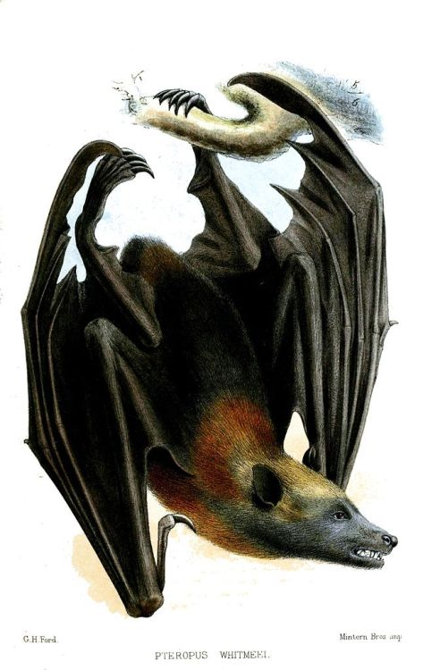 "Pteropus whitmeei (now Pteropus samoensis) - Samoa Flying Fox The megabat of Samoa is an impressive sight to see, and plays a role in Polynesian mythology, as well as being a food source to native Samoans. On the island of Savai'i, there is a legend of Nafanua, the goddess of war, being rescued by flying foxes when she was stranded on a desolate island. On a half-related note, the Samoan word for ""flying fox"", pe'a, is also the word for the traditional Samoan male tattoo. Proceedings of the Zoological Society of London. 1874."