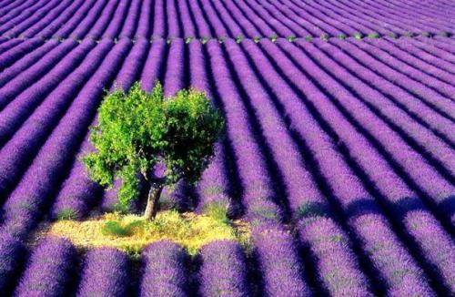 Lavender field in Provence, France (via Passionate About Lavender)