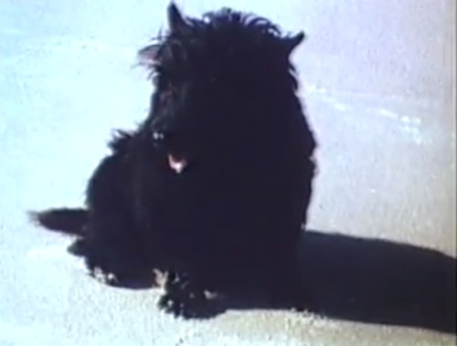 "A Real Hound In the wake of what became known as the Fala Speech, the Scottie became an icon as well as a ""personage."" At a White House Conference on Rural Education that drew 200 educators to the East Room on October 5, Austin R. Meadows of Alabama abruptly laid aside his text in mid-speech and said, ""The folks back home really only wanted me to say hello to Fala."" After 15 minutes, Fala appeared, accompanied by a steward who gave Eleanor a plate with pieces of sponge cake while the educators scattered chairs, clapped, laughed and squealed with delight. ""A group of dignified school officials had suddenly become a bunch of care-free high school kids,"" the New York Times reported. Fala ignored Eleanor until he got a snort of the cake, and then came running. He rolled over and stood up on his legs to beg, but the floor proved too slick for him to jump successfully. (via Fala, the Presidential Dog 