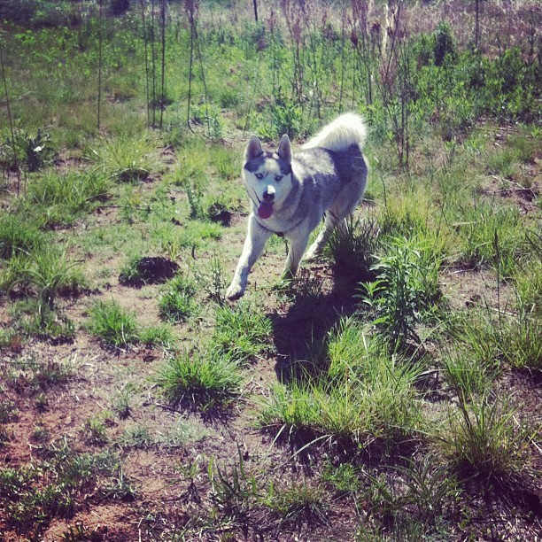 In his element #dogs #igersjohannesburg  (Taken with Instagram at Walkhaven)